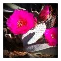 anza-boreggo-blooming-cactus-2