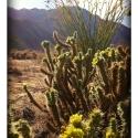 anza-boreggo-blooming-cactus