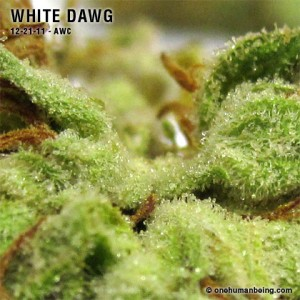 WhiteDawg_12_21_2011_full_3