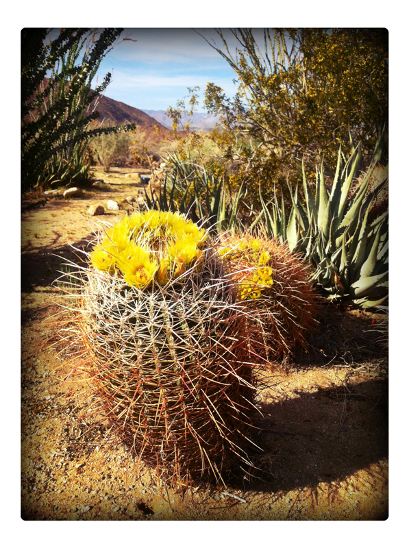 Anza-Boreggo-Blooming-Barrel-Cactus